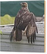 Soaked Red-tailed Hawk Wood Print