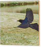 Soaring Boat-tailed Grackle - Glow Wood Print