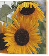 Soft Colors Sunflowers Wood Print