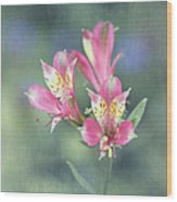Soft Pink Alstroemeria Flower Wood Print
