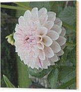 Solo Pastel Dahlia Wood Print