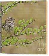 Song Sparrow Pictures 111 Wood Print