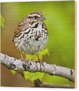 Song Sparrow Pictures 132 Wood Print