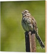 Song Sparrow Pictures 135 Wood Print