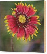 Sonoran Blanket Flower Wood Print