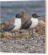 Mr. And Mrs. Laughing Gull  Wood Print