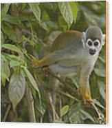 South American Squirrel Monkey Amazonia Wood Print