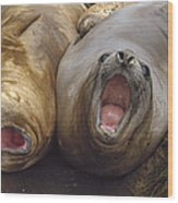 Southern Elephant Seal Pair Calling Wood Print by Konrad Wothe