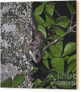 Southern Flying Squirrel Wood Print