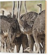 Southern Ostriches Performing Geophagia Wood Print