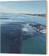 Southern Right Whale At Surface Wood Print