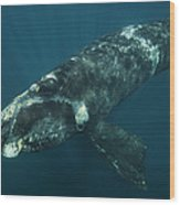 Southern Right Whale Calf Valdes Wood Print