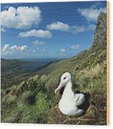 Southern Royal Albatross Wood Print