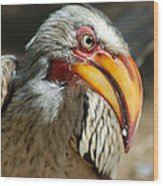Southern Yellow-billed Hornbill - Tockus Leucomelos  Wood Print
