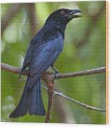 Spangled Drongo Calling Queensland Wood Print