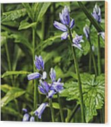 Spanish Bluebells Wood Print