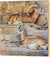 Spanish Ibex Wood Print