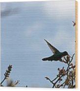 Sparkling Violetear Hummingbird Wood Print