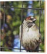 Sparrow On A Wire Fence Wood Print