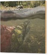 Spawned Out Sockeye Salmon In Quartz Wood Print
