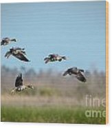 Speckled Belly Geese Coming In For A Landing Wood Print