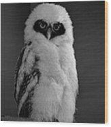 Speckled Owlet Wood Print