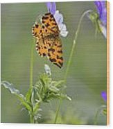 Speckled Yellow Moth On Pansy Wild Flower Wood Print