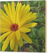 Speckless Yellow African Daisy Wood Print