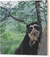 Spectacled Bear Cerro Chaparri  Peru Wood Print