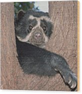 Spectacled Bear In Andean Foothills Peru Wood Print