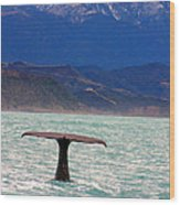 Sperm Whale Diving New Zealand Wood Print
