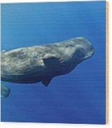 Sperm Whale Pyseter Macrocephalus Wood Print