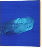 Sperm Whale With Remoras Wood Print