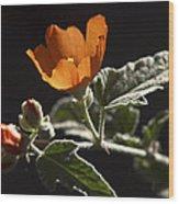 Sphaeralcea Ambigua Wood Print