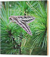 Sphinx Moth Wood Print