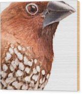 Spice Finch Lonchura Punctulata Portrait Wood Print