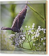 Spicebrush Swallowtail Butterfly Wood Print