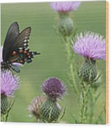 Spicebush Swallowtail Butterfly On Bull Thistle Wildflowers Wood Print