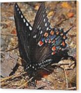 Spicebush Swallowtail Butterfly Preflight Wood Print