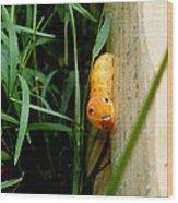 Spicebush Swallowtail Caterpillar Wood Print
