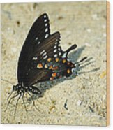 Spicebush Swallowtail Papilio Troilus  Wood Print
