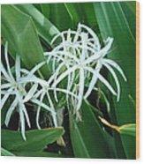 Spider Flower In Sint Maarten Wood Print