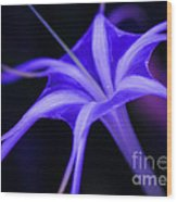 Spider Lilly  Wood Print