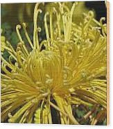 Spider Mums Maybe 2 Wood Print