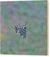 Spined Micrathena Orb Weaver Spider - Micrathena Gracilis Wood Print