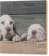 Spinone Puppies Wood Print