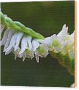 Spiral Ladies' Tresses Wood Print