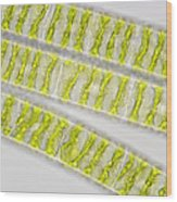 Spirogyra Algae, Light Micrograph Wood Print