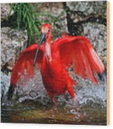 Splish Splash - Red Ibis Wood Print