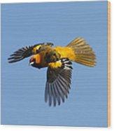Spot Breasted Oriole In Flight Wood Print